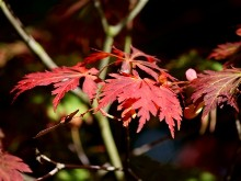 Japanese Maple in Sun