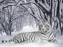 White Tiger XCIII -WP- by =Funerium