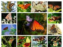 Butterflies Too