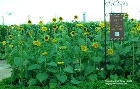 Sunflowers @ Changi Airport