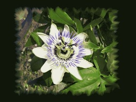 Passiflora