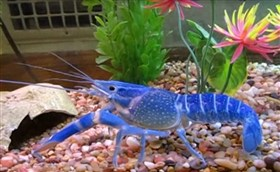 the blue crayfish