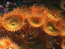 deepsea coral