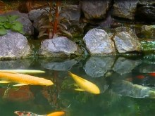 koi pond falls