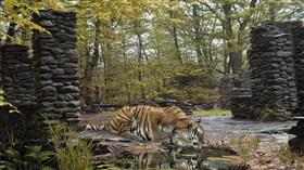 Tiger Lick LV