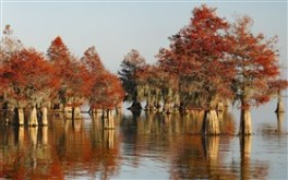Bald Cypress Forest (Widescreen)