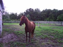 horse chesnut beauty