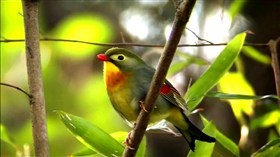 Red Billed Leiothrix 2